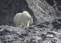 Mountain Goat Against Shadowy Cliff, Glacier Bay,