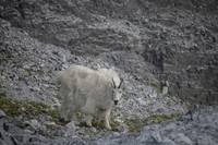 Mountain Goat Closeup, Glacier Bay, Alaska