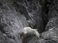 Leaping Mountain Goat