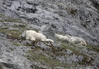 Mountain Goats Sleeping