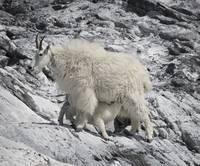 Mountain Goat Nursing Her Kid, Glacier Bay, Alaska