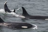 Orcas and Lobtailing Baby Orca