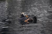 Tufted Puffin Grooming