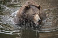 Brown Bear Dripping Water
