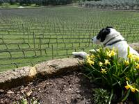 Dog Watching Workers In Grape Vines