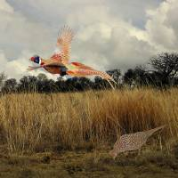 Ringnecked Pheasants  by I.M. Spadecaller