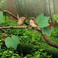 Pacific Wrens and Red Currants by I.M. Spadecaller