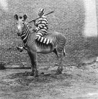 COMIC CRIMINAL RIDING A ZEBRA 1933