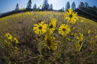 Tarweed and Mountain Meadow, Sierra Nevadas