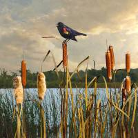 Red-winged Blackbird and Cattails by I.M. Spadecaller