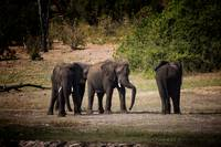 Elephants in Chobe