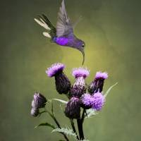 Violet Sabrewing Hummingbird and Thistle by I.M. Spadecaller