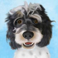 zeb the cockapoo