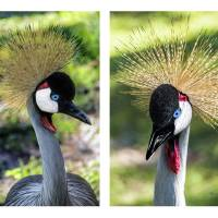 Grey Crowned Crane Gulf Shores Al Collage 1 Art Prints & Posters by Ricardos Creations