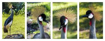 Grey Crowned Crane Gulf Shores Al Collage 1