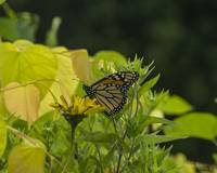 Monarch on Yellow Flower