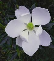 Magnolia Flower Photo F9718