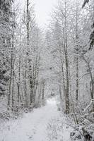 Snow Covered Trees Line The Path