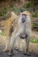 The Baboons family