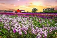 Sunrise at the Flower Farm