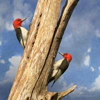 red headed woodpeckers