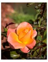 Aesthetic Radiant Peach Rose