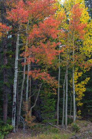 Rocky Mountain Forest Reds