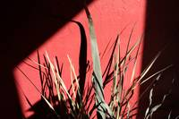 Dried Grass Against Red with Shadows