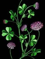 Lucky Clover Flower Watercolor Black Background