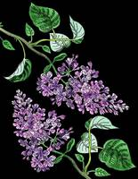 Lilac Flower Watercolor With Black Background