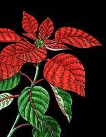 Red Poinsettia Watercolor With Black Background