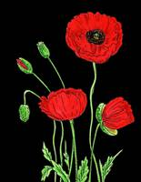 Red Poppies Flower Watercolor On Black