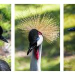 Grey Crowned Crane Gulf Shores Al Collage 2 Prints & Posters