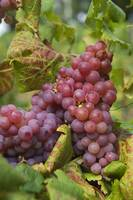 Taste of Autumn. Red Grapes Clusters 5
