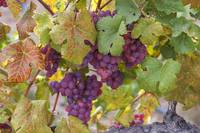 Red Grapes Clusters 10