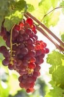 Red Grapes Clusters 9