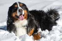 Smiling Bernese Mountain Dog in Winter Snow