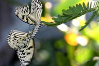 Dance of the Butterflys