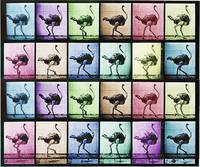 Time Lapse Motion Study Ostrich Color
