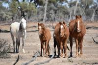 Outback horses