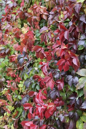 Autumn Color Virginia Creeper