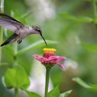 Hummingbird in Flight by Karen Adams
