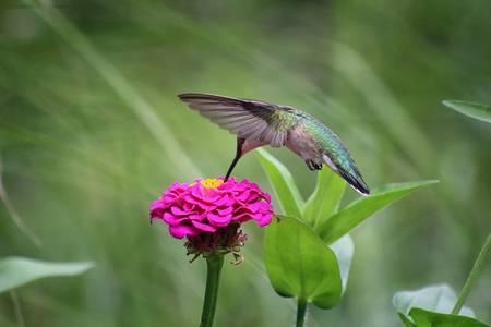 Hummingbird and Pink Zinnia