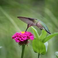 Hummingbird and Pink Zinnia by Karen Adams