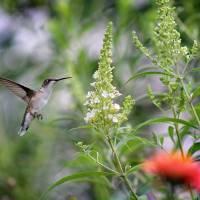 Hummingbird and White Butterfly Bush by Karen Adams