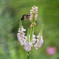 Hummingbird at Obedient Plant by Karen Adams