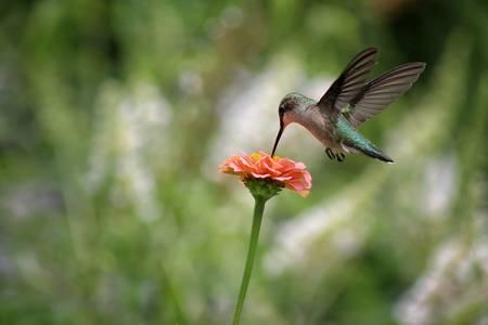 Hummingbird Balance