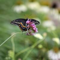Beautiful Black Swallowtail in the Garden by Karen Adams
