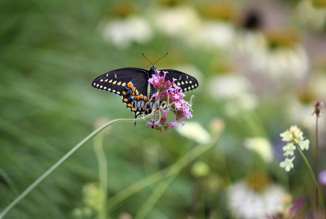 Beautiful Black Swallowtail in the Garden