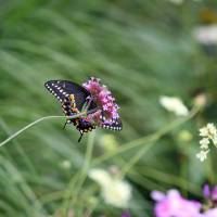 Looking up at Black Swallowtail Butterfly by Karen Adams
